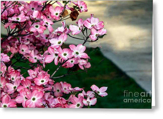 Haybales Greeting Cards - Beautiful Pink Dogwood Greeting Card by Robert Bales