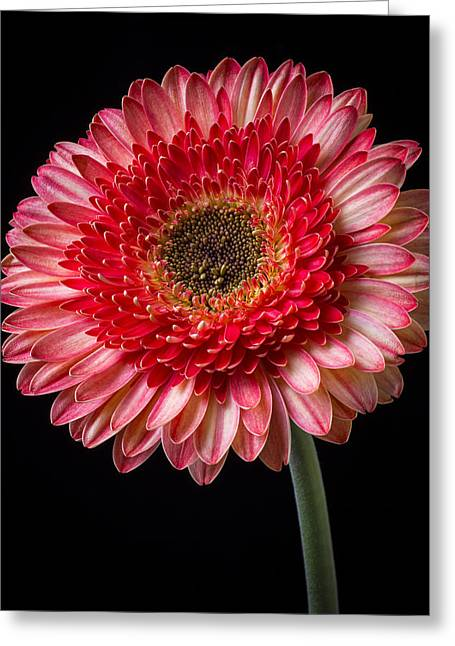 Pink Chrysanthemums Greeting Cards - Beautiful  Pink Gerbera Greeting Card by Garry Gay