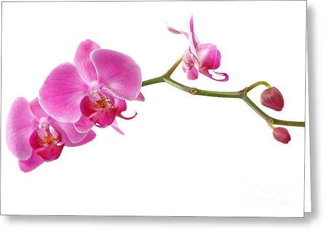 Desktop Pyrography Greeting Cards - Beautiful Pink Orchids Greeting Card by Boon Mee