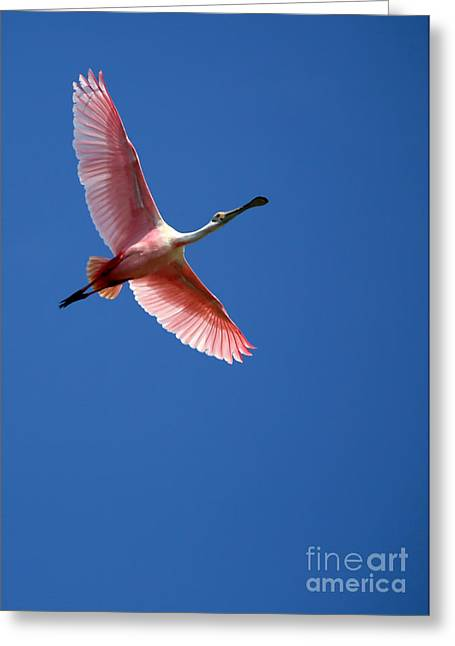 Winter Photos Greeting Cards - Beautiful Pink Roseate Spoonbill Greeting Card by Sabrina L Ryan