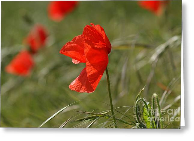 Floral Greeting Cards - Beautiful poppies 5 Greeting Card by Carol Lynch
