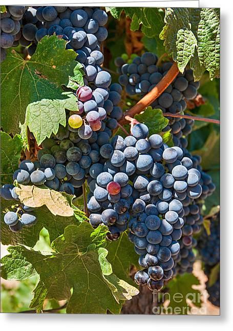 Grape Vine Greeting Cards - Beautiful Purple Grapes in wine vineyards in Napa Valley in California. Greeting Card by Jamie Pham