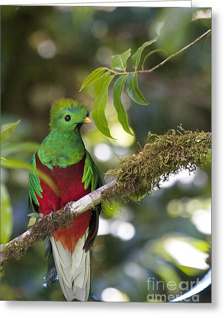 Faunal Greeting Cards - Beautiful Quetzal 1 Greeting Card by Heiko Koehrer-Wagner