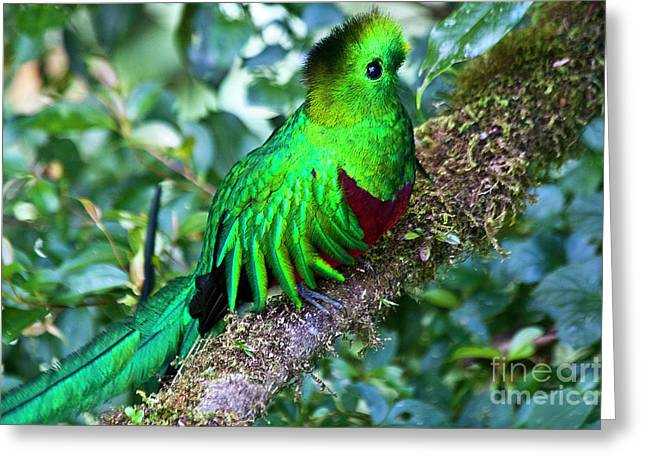 Faunal Greeting Cards - Beautiful Quetzal 2 Greeting Card by Heiko Koehrer-Wagner