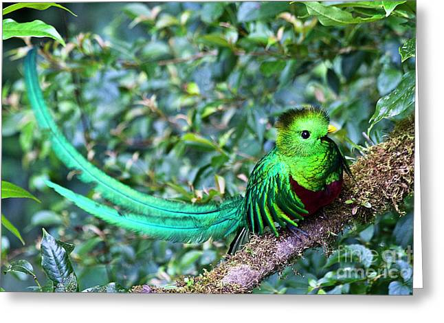 Bird Of Paradise Greeting Cards - Beautiful Quetzal 3 Greeting Card by Heiko Koehrer-Wagner