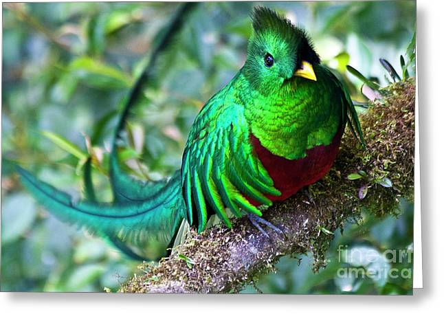 Costa Rica Greeting Cards - Beautiful Quetzal 4 Greeting Card by Heiko Koehrer-Wagner