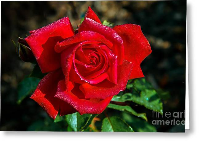 Rose Petals Greeting Cards - Beautiful Red Rose After A Rain Greeting Card by Robert Bales