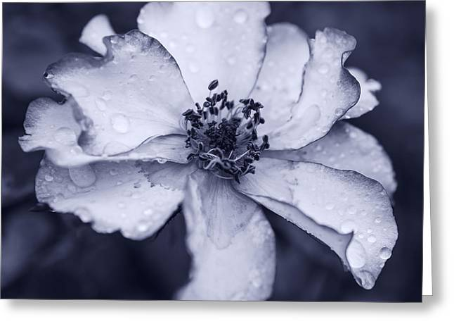 Roses In Bud Greeting Cards - Beautiful rose in monotone Greeting Card by Vishwanath Bhat