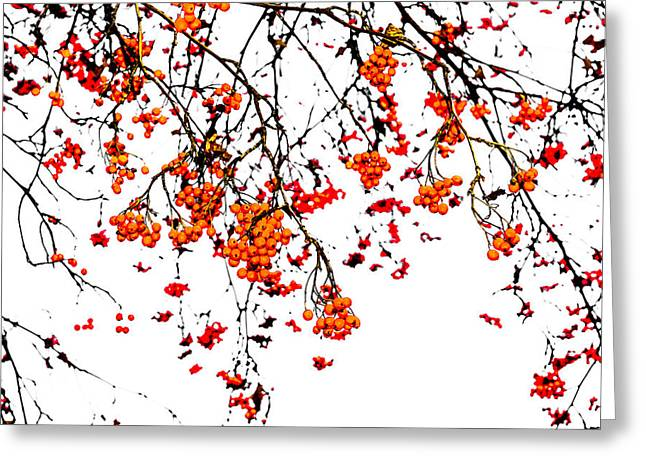 Black Berries Greeting Cards - Beautiful Rowan 5 Greeting Card by Alexander Senin