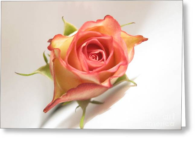 Blooms Greeting Cards - Beautiful Soft Tri-Color Rose Abstract Greeting Card by Tara  Shalton