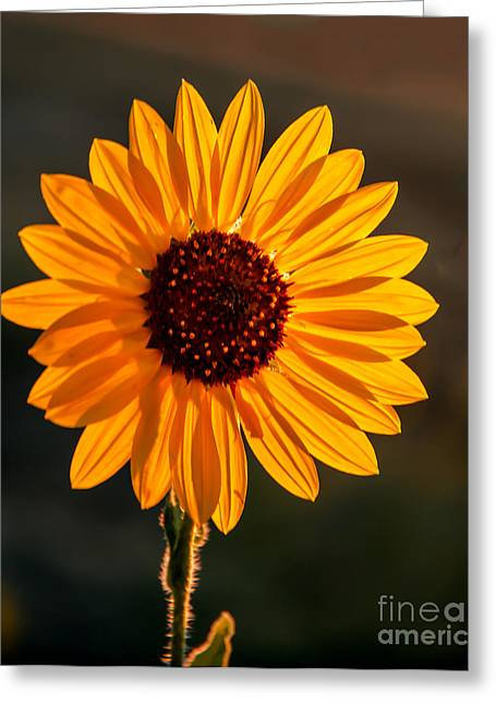 Haybales Greeting Cards - Beautiful Sunflower Greeting Card by Robert Bales