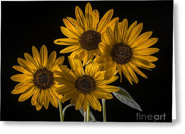 Isolated On Black Background Greeting Cards - Beautiful sunflowers on black Greeting Card by Vishwanath Bhat