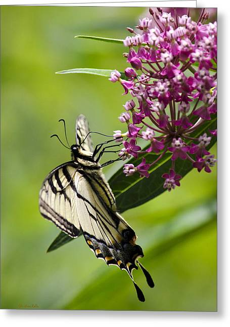 Bug Framed Prints Greeting Cards - Beautiful Swallowtail Butterfly Greeting Card by Christina Rollo