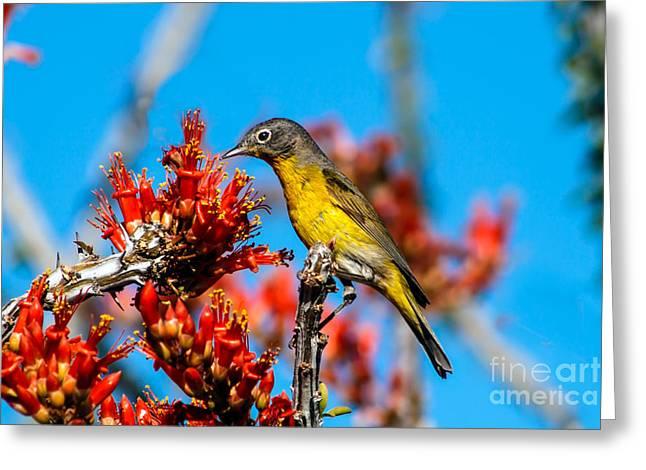 Haybale Greeting Cards - Beautiful Warbler Greeting Card by Robert Bales