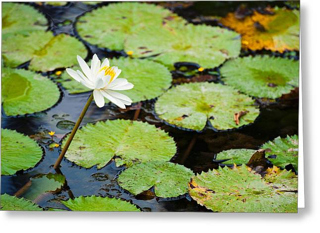 Water Lilly Greeting Cards - Beautiful Water lily  Greeting Card by Ulrich Schade