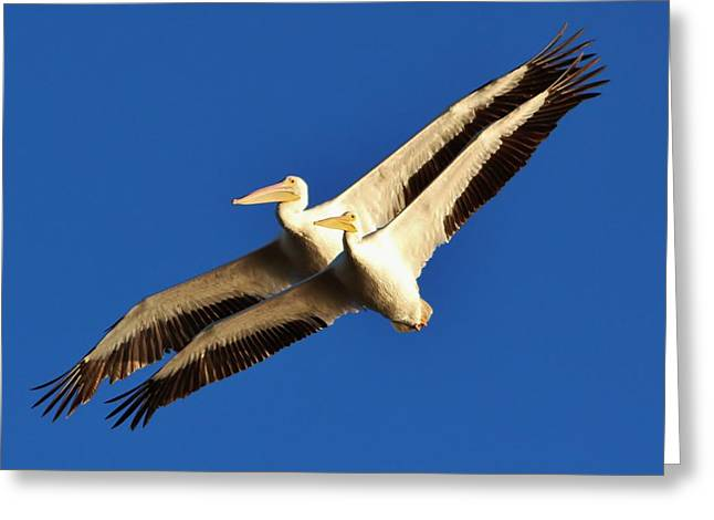 Paulette Thomas Greeting Cards - Beautiful White Pelicans Greeting Card by Paulette Thomas