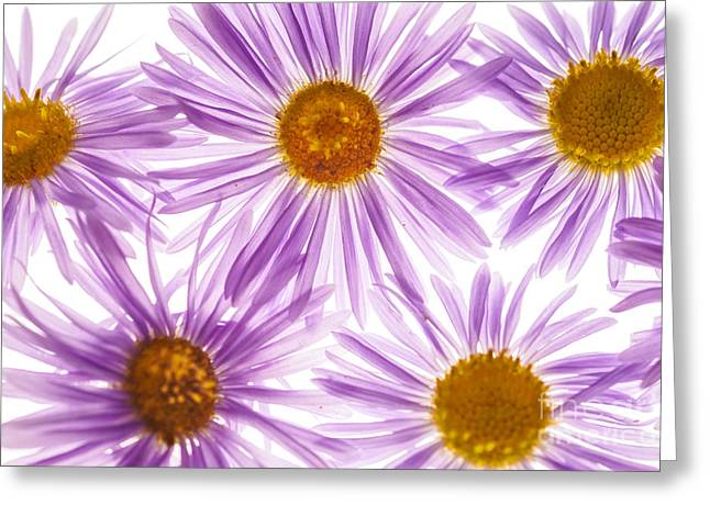 Asters Greeting Cards - Beautiful wild aster flowers Greeting Card by Vishwanath Bhat