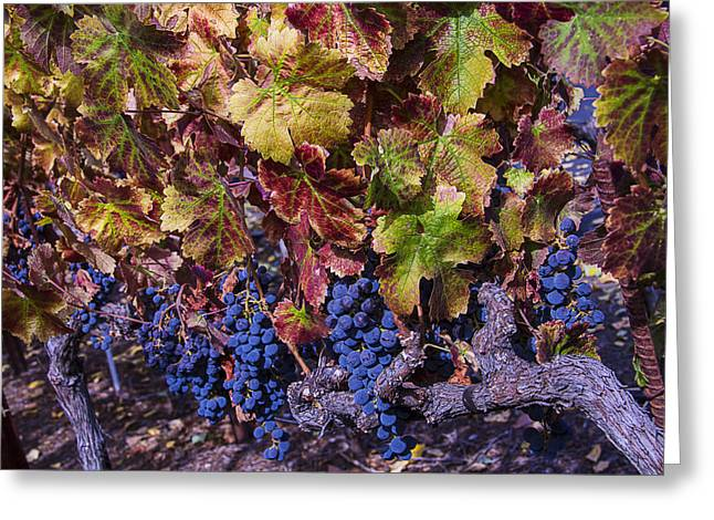 Ripe Grapes Greeting Cards - Beautiful Wine Grapes Greeting Card by Garry Gay