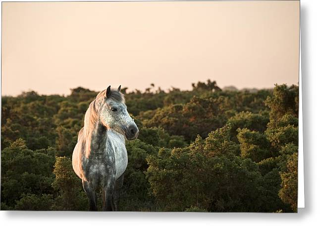 New Forest Pony Greeting Cards - Beauttiful close up of New Forest pony horse bathed in fresh daw Greeting Card by Matthew Gibson