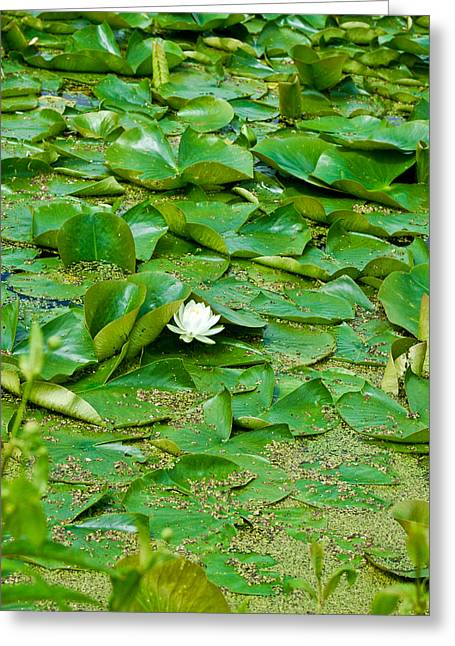 Lotus Full Bloom Greeting Cards - Beauty Beneath 2 Greeting Card by Rhonda Barrett