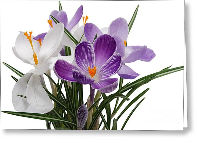 Foam Pyrography Greeting Cards - Beauty Crocus flower Greeting Card by Boon Mee