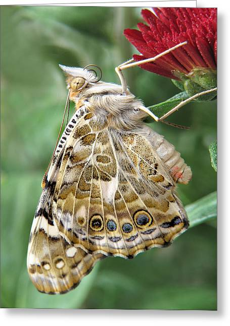 Painted Lady Greeting Cards - Beauty in Butterflies Greeting Card by David and Carol Kelly