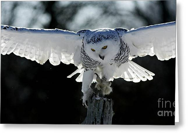 Beauty in Motion- Snowy Owl Landing Greeting Card by Inspired Nature Photography By Shelley Myke