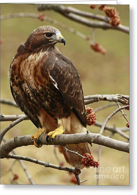 Beauty In Nature Red Tailed Hawk In The Spring  Greeting Card by Inspired Nature Photography Fine Art Photography