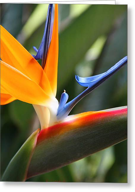Bird Of Paradise Greeting Cards - Beauty in Paradise Greeting Card by Kerri Ligatich