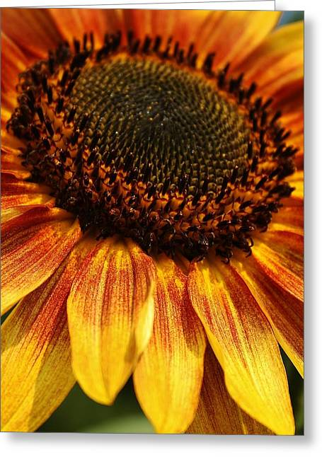 Yellow Sunflower Greeting Cards - Beauty of a Sunflower Greeting Card by Bruce Bley