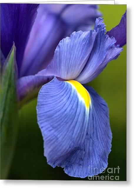 Joy Watson Greeting Cards - Beauty of Iris Greeting Card by Joy Watson