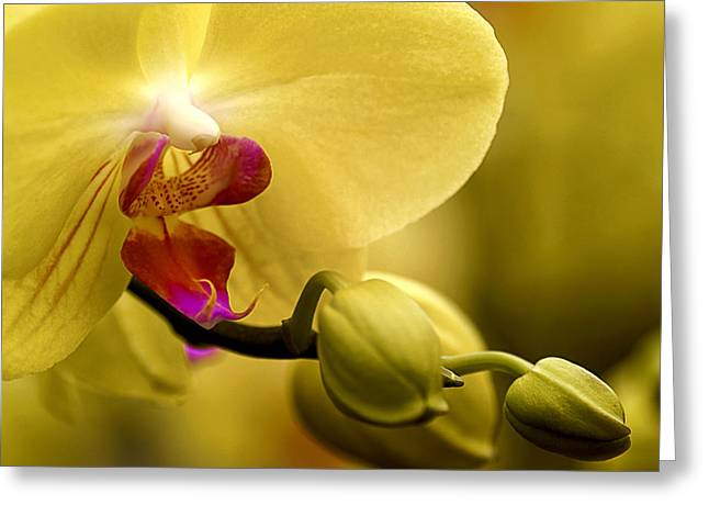 Phalaenopsis Orchid Greeting Cards - Beauty of Orchids 2 Greeting Card by Julie Palencia