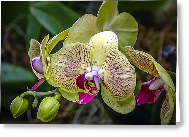 Beauty Of Orchids 3 Greeting Card by Julie Palencia