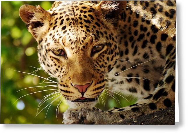 Leopard Hunting Greeting Cards - Beauty of the Hunt Greeting Card by Mountain Dreams