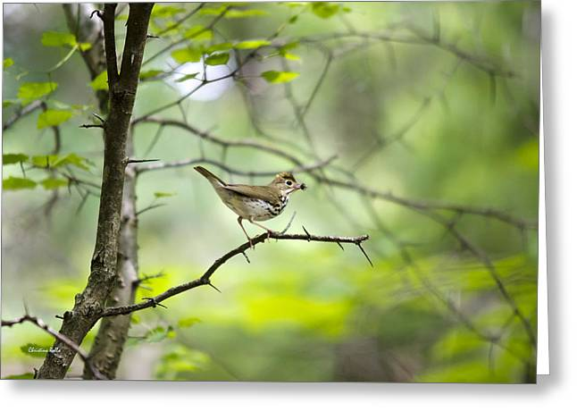 Wood Warbler Greeting Cards - Beauty of the Spring Forest Greeting Card by Christina Rollo