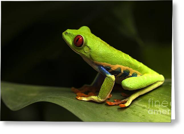 Tree Frog Greeting Cards - Beauty Of Tree Frogs Costa Rica 1 Greeting Card by Bob Christopher