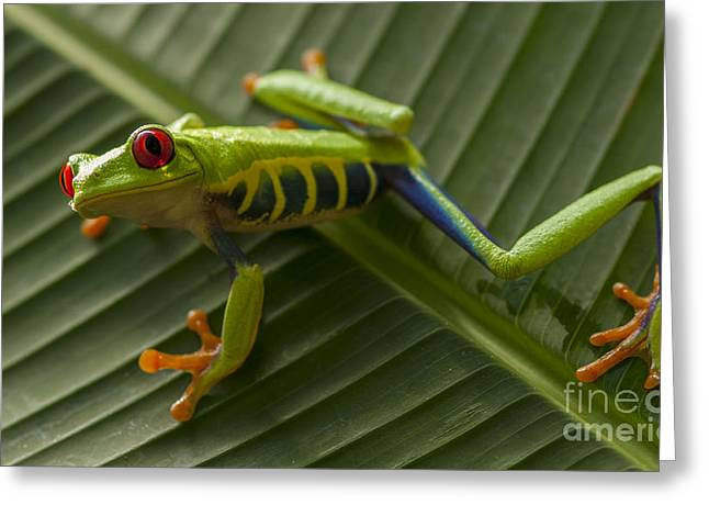 Biology Greeting Cards - Beauty Of Tree Frogs Costa Rica 10 Greeting Card by Bob Christopher