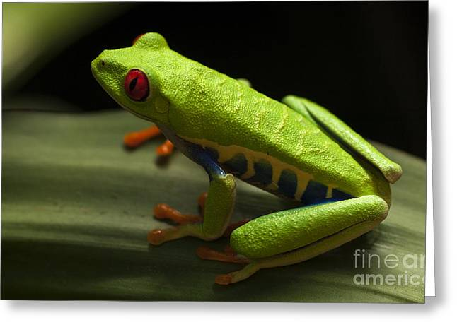 Tree Frog Greeting Cards - Beauty Of Tree Frogs Costa Rica 2 Greeting Card by Bob Christopher