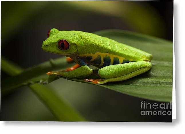 Tree Frog Greeting Cards - Beauty Of Tree Frogs Costa Rica 5 Greeting Card by Bob Christopher