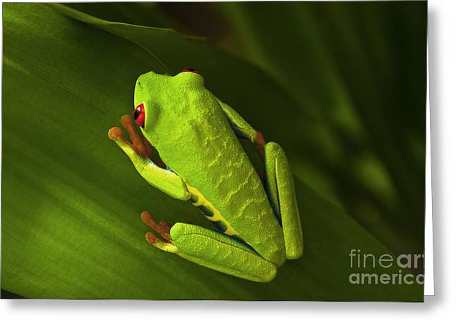 Tree Frog Greeting Cards - Beauty Of Tree Frogs Costa Rica 6 Greeting Card by Bob Christopher