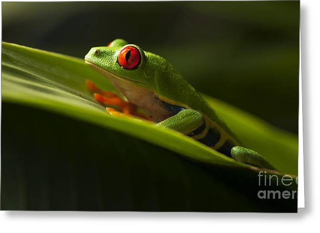 Biology Greeting Cards - Beauty Of Tree Frogs Costa Rica 7 Greeting Card by Bob Christopher