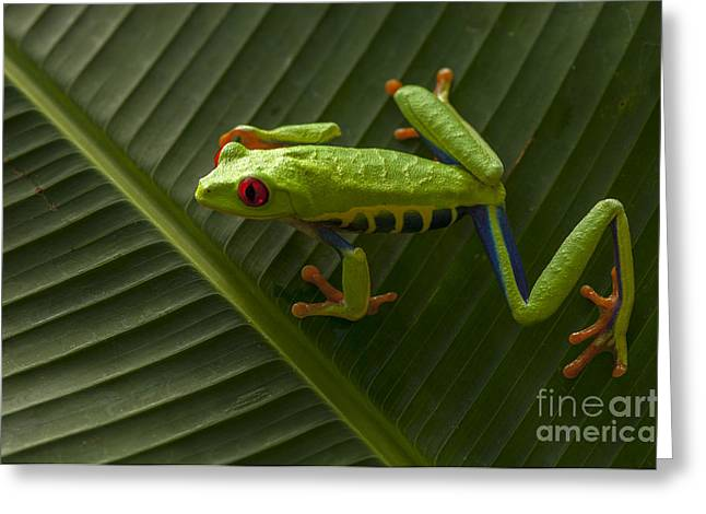 Tree Frog Greeting Cards - Beauty Of Tree Frogs Costa Rica 8 Greeting Card by Bob Christopher
