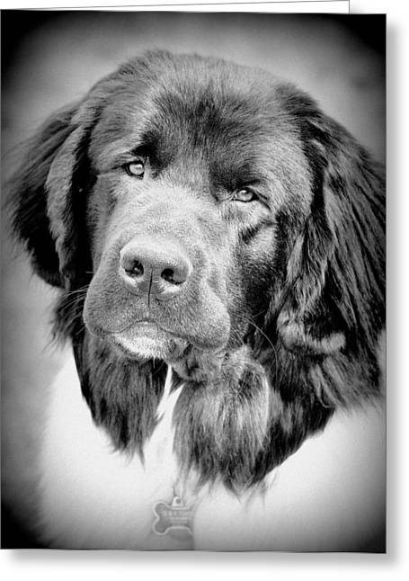 Newfoundland Puppy Greeting Cards - Beauty Pup Greeting Card by Barbara Dudley