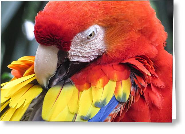 Macaw Art Print Greeting Cards - Beauty Scarlet Greeting Card by Zina Stromberg