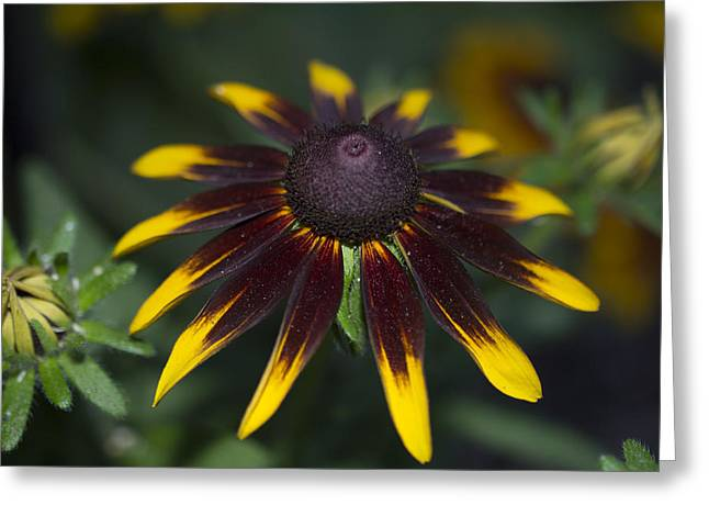 Les Fleurs Greeting Cards - Beauty Unknown to this Daisy Greeting Card by Linda Troski