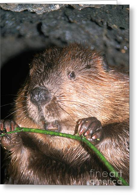 Gnawing Greeting Cards - Beaver Castor Canadensis Greeting Card by Mark Newman
