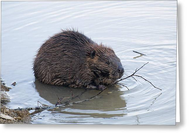 Beaver Chewing On Twig Greeting Card by Chris Flees