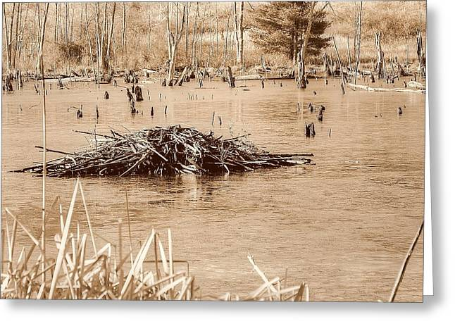 Beaver By Water Greeting Cards - Beaver dam Greeting Card by Linda Covino