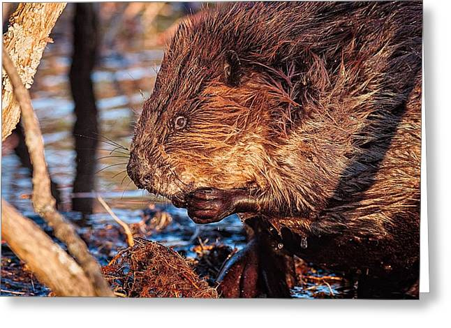 Wet Hair Greeting Cards - Beaver Eating Bellamy Resrvoir. Greeting Card by Jeff Sinon