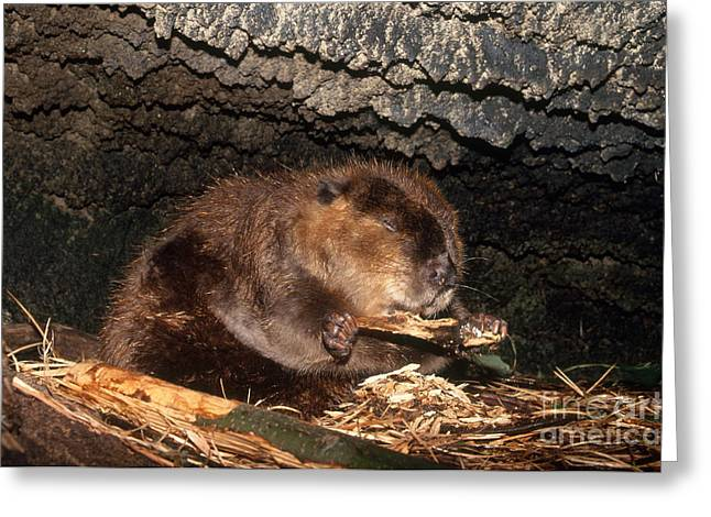 Beaver Greeting Cards - Beaver Eating In Lodge Greeting Card by Mark Newman